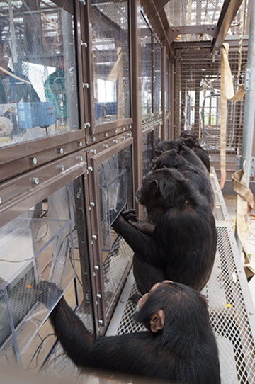Chimpanzees-engaging in a touch-screen task